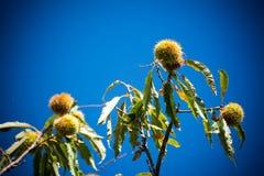 δέντρο κάστανων στα βουνά στο υπόβαθρο μπλε ουρανού Στοκ Φωτογραφίες