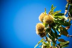 δέντρο κάστανων στα βουνά στο υπόβαθρο μπλε ουρανού Στοκ εικόνες με δικαίωμα ελεύθερης χρήσης