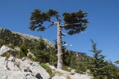 Δέντρο κέδρων Στοκ Εικόνες