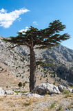 Δέντρο κέδρων Στοκ εικόνες με δικαίωμα ελεύθερης χρήσης