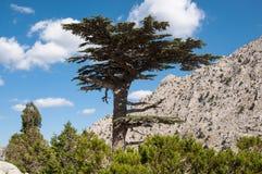 Δέντρο κέδρων Στοκ Φωτογραφίες