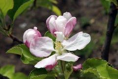 Δέντρο κήπων της Apple Στοκ φωτογραφίες με δικαίωμα ελεύθερης χρήσης