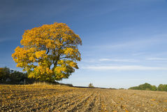 δέντρο κίτρινο Στοκ Εικόνες