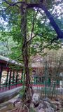 Δέντρο και άμπελος Στοκ φωτογραφίες με δικαίωμα ελεύθερης χρήσης