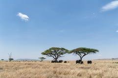 Δέντρο και ελέφαντες ακακιών στοκ φωτογραφίες