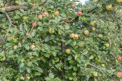 Δέντρο και μήλα της Apple έτοιμα για τη συγκομιδή Στοκ εικόνα με δικαίωμα ελεύθερης χρήσης