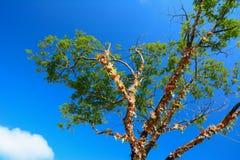 Δέντρο και μπλε ουρανός Στοκ Φωτογραφία