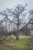 Δέντρο και ομίχλη της Apple Εποχιακό υπόβαθρο Στοκ Φωτογραφία