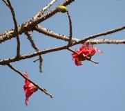 Δέντρο και λουλούδια Ινδία βαμβακιού μεταξιού Στοκ φωτογραφία με δικαίωμα ελεύθερης χρήσης