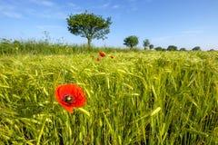 Δέντρο και παπαρούνα Στοκ εικόνες με δικαίωμα ελεύθερης χρήσης