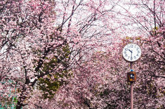 Δέντρο και παρατηρητήριο Sakura στο πάρκο Στοκ Εικόνες