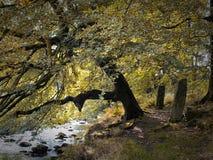 Δέντρο και ποταμός με τις μόνιμες πέτρες Στοκ Εικόνες
