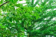 Δέντρο και πράσινο φύλλο με το υπόβαθρο θαμπάδων στοκ εικόνες