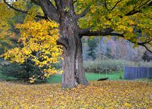 Δέντρο και ταλάντευση σφενδάμνου Στοκ εικόνες με δικαίωμα ελεύθερης χρήσης
