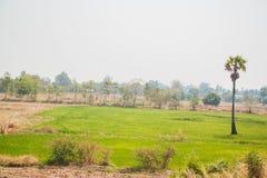 Δέντρο και το ρύζι τομέων στο μπλε ουρανό στην Ταϊλάνδη Στοκ Εικόνες