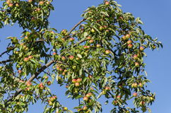 Δέντρο και φρούτα της Apple στον κήπο Στοκ Εικόνα