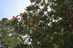 Δέντρο και φρούτα του τουρκικού δαμάσκηνου στοκ φωτογραφία