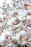 Δέντρο και χιόνι magnolia Flowerin Στοκ εικόνα με δικαίωμα ελεύθερης χρήσης