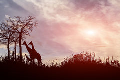 Δέντρο και giraffes σκιαγραφιών στο ηλιοβασίλεμα Στοκ Φωτογραφία