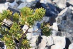 Δέντρο και Obsidian πεύκων Στοκ φωτογραφίες με δικαίωμα ελεύθερης χρήσης