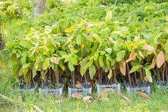 Δέντρο κακάου, αγροτικό δέντρο κακάου Στοκ εικόνα με δικαίωμα ελεύθερης χρήσης
