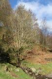Δέντρο, κανένα φύλλο, από το μικρό ρεύμα την άνοιξη Στοκ Εικόνες
