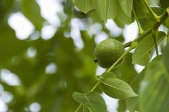δέντρο καρυδιών στοκ εικόνες