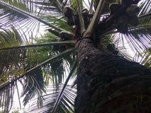 Δέντρο καρύδων και φρούτα καρύδων Στοκ Εικόνα