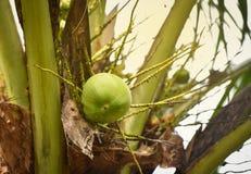 Δέντρο καρύδων με τα φρούτα καρύδων Στοκ φωτογραφίες με δικαίωμα ελεύθερης χρήσης