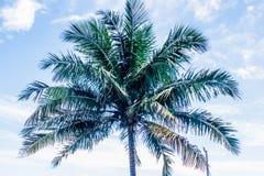 Δέντρο καρύδων με τις καρύδες, Brazol Στοκ Φωτογραφίες