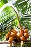 Δέντρο καρύδων με τα φρούτα καρύδων Στοκ Φωτογραφία