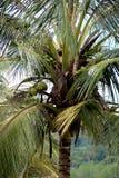 Δέντρο καρύδων με τις καρύδες σε Sarawak Μπόρνεο στοκ φωτογραφίες