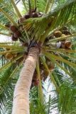 Δέντρο καρύδων που γεμίζουν με τις καρύδες Στοκ Φωτογραφία