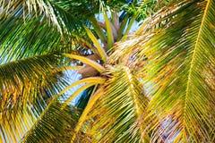 Δέντρο καρύδων στην παραλία σε Punta Cana Στοκ Εικόνες