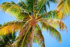 Δέντρο καρύδων στην παραλία σε Punta Cana Στοκ φωτογραφία με δικαίωμα ελεύθερης χρήσης