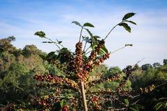 Δέντρο καφέ με τον ουρανό Στοκ Εικόνα