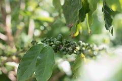 Δέντρο καφέ με το κεράσι καφέ ripes Στοκ φωτογραφίες με δικαίωμα ελεύθερης χρήσης