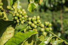 Δέντρο καφέ στο Βιετνάμ Στοκ Εικόνες