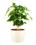 Δέντρο καφέ στο δοχείο λουλουδιών που απομονώνεται στο άσπρο υπόβαθρο Στοκ Εικόνα