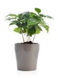 Δέντρο καφέ στο δοχείο λουλουδιών Στοκ Εικόνες