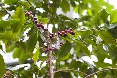 δέντρο καφέ φασολιών Στοκ Εικόνα