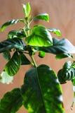 Δέντρο καφέ στοκ φωτογραφίες με δικαίωμα ελεύθερης χρήσης