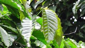 Δέντρο καφέ απόθεμα βίντεο