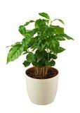 Δέντρο καφέ (Arabica εγκαταστάσεις) στο δοχείο λουλουδιών που απομονώνεται στην άσπρη πλάτη Στοκ φωτογραφίες με δικαίωμα ελεύθερης χρήσης
