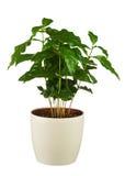 Δέντρο καφέ (Arabica εγκαταστάσεις) στο δοχείο λουλουδιών που απομονώνεται στην άσπρη πλάτη Στοκ φωτογραφία με δικαίωμα ελεύθερης χρήσης