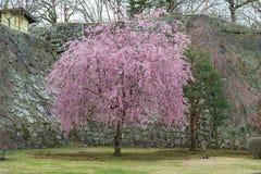 Δέντρο κεράσι-ανθών στο πάρκο Iwate (πάρκο περιοχών κάστρων του Μοριόκα) Στοκ Φωτογραφίες