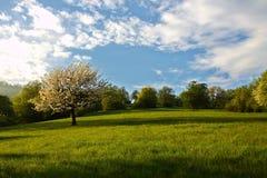 Δέντρο κερασιών άνοιξη στοκ εικόνα με δικαίωμα ελεύθερης χρήσης