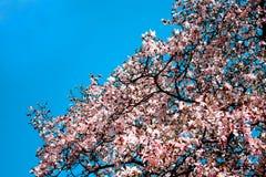 δέντρο κερασιών ανθών Στοκ Εικόνα