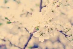 Δέντρο κερασιών ανθών στοκ φωτογραφίες