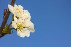Δέντρο κερασιών ενάντια στο μπλε ουρανό Στοκ Φωτογραφίες